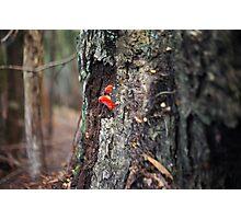 Mushroom tongued tree, Tarkine, Tasmania Photographic Print