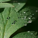 Water Drop On leaves by edesigns14
