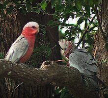 Galahs,  red-breasted cockatoos by myraj
