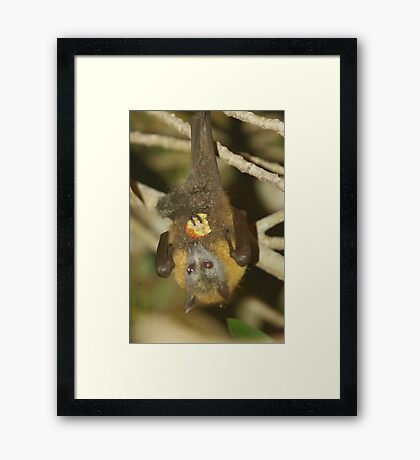 flying fox Framed Print