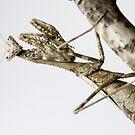Praying mantis by Cara Merino