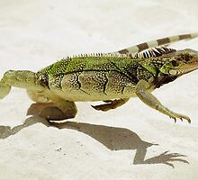 Iguana by photomagma