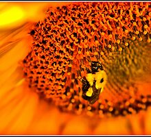 sunflower by petemar12