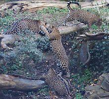 Kids At Play-Jaguar Cubs-Woodland Park Zoo by Ian Phares