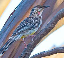 Red Wattlebird. Australia by Bruce  Thomson