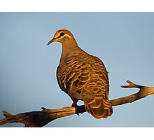 Common Bronzewing Pigeon, Australia Photographic Print
