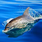 bottlenose dolphin. great oyster bay, tasmania by tim buckley | bodhiimages