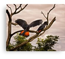 Red-tailed Black Cockatoo Canvas Print