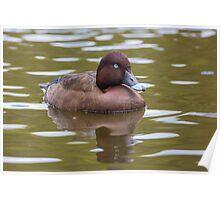 Hardhead Duck, Australia Poster