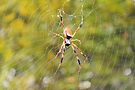 Rain Soaked Orb-Weaver by ©Dawne M. Dunton