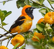 Orange-backed Troupial, Brazil by Bruce  Thomson
