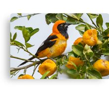 Orange-backed Troupial, Brazil Canvas Print