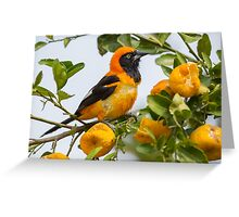 Orange-backed Troupial, Brazil Greeting Card