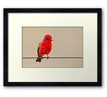 Vermillion Flycatcher, Brazil  Framed Print
