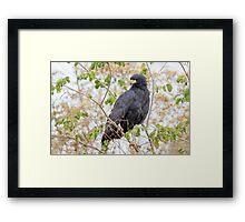 Great Black Hawk, Brazil Framed Print