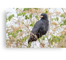 Great Black Hawk, Brazil Canvas Print