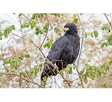 Great Black Hawk, Brazil Photographic Print