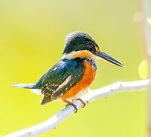 American Pygmy Kingfisher, Brazil by Bruce  Thomson