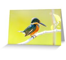 American Pygmy Kingfisher, Brazil Greeting Card