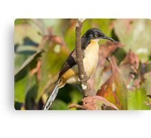 Black-capped Donacobius Canvas Print