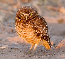 Burrowing Owl, Brazil by Bruce  Thomson
