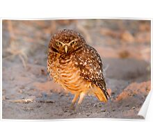 Burrowing Owl, Brazil Poster
