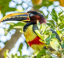 Chestnut-eared Aracari, Brazil by Bruce  Thomson