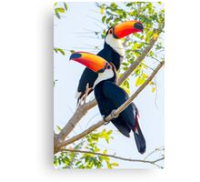 Toco Toucan, Brazil Canvas Print
