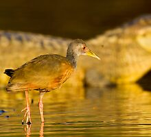 Grey-necked Wood Rail, Brazil by Bruce  Thomson