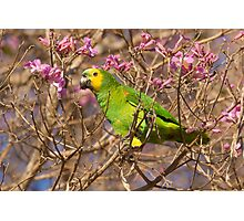 Blue-fronted Parrot, Brazil Photographic Print