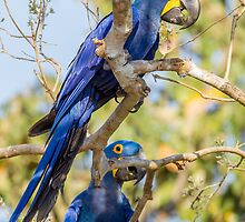 Hyacinth Macaw, Brazil by Bruce  Thomson
