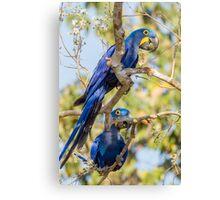 Hyacinth Macaw, Brazil Canvas Print