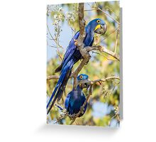 Hyacinth Macaw, Brazil Greeting Card