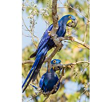 Hyacinth Macaw, Brazil Photographic Print