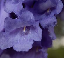 Jacaranda Blossom in the Rain by Sandra Chung