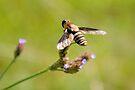 Bee Fly 2 by ©Dawne M. Dunton