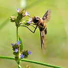 Bee Fly 3 by Dawne Dunton