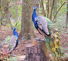 Peacocks by Dawne Dunton