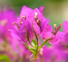 Summer Bougainvillea by Renee Hubbard Fine Art Photography