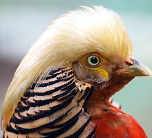 Golden Pheasant by Renee Hubbard Fine Art Photography