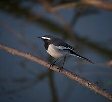 Black and white bird on branch by Nick Dale