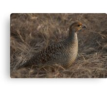 Partridge in grass Canvas Print