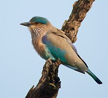 Indian roller on a branch by Nick Dale