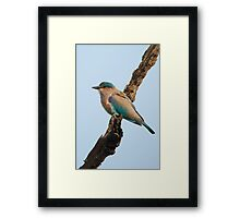 Indian roller on a branch Framed Print