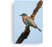 Indian roller on a branch Canvas Print