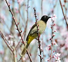 Yellow vented Bulbul by Nika Lerman