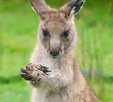 Young Wallaby by Renee Hubbard Fine Art Photography