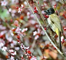 Yellow vented bulbul bird by Nika Lerman