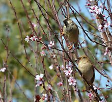 Pair of sparrows by Nika Lerman