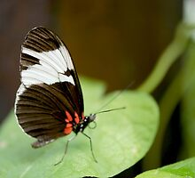 Brown-White-Butterfly by PhotoFineart